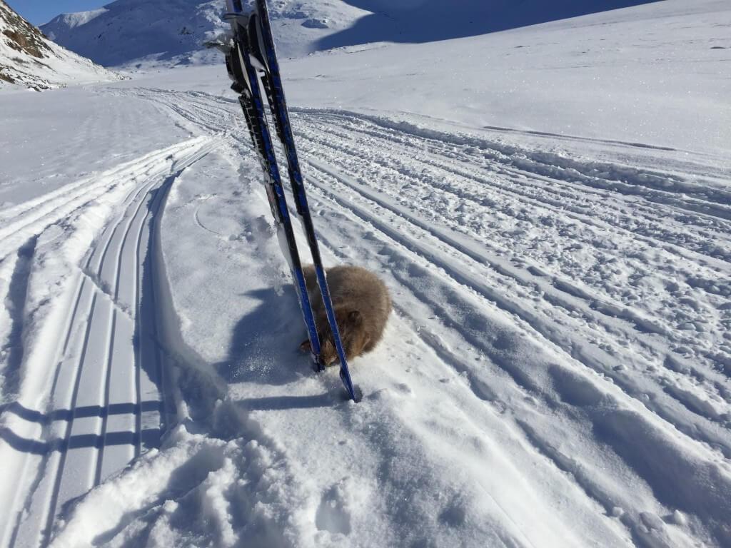Grønland ACT vildræv